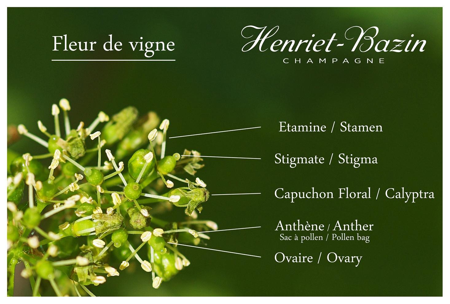 Doc Schéma fleur de vigne + cadre copie