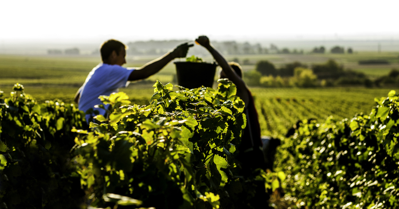 Harvest Begins in Champagne