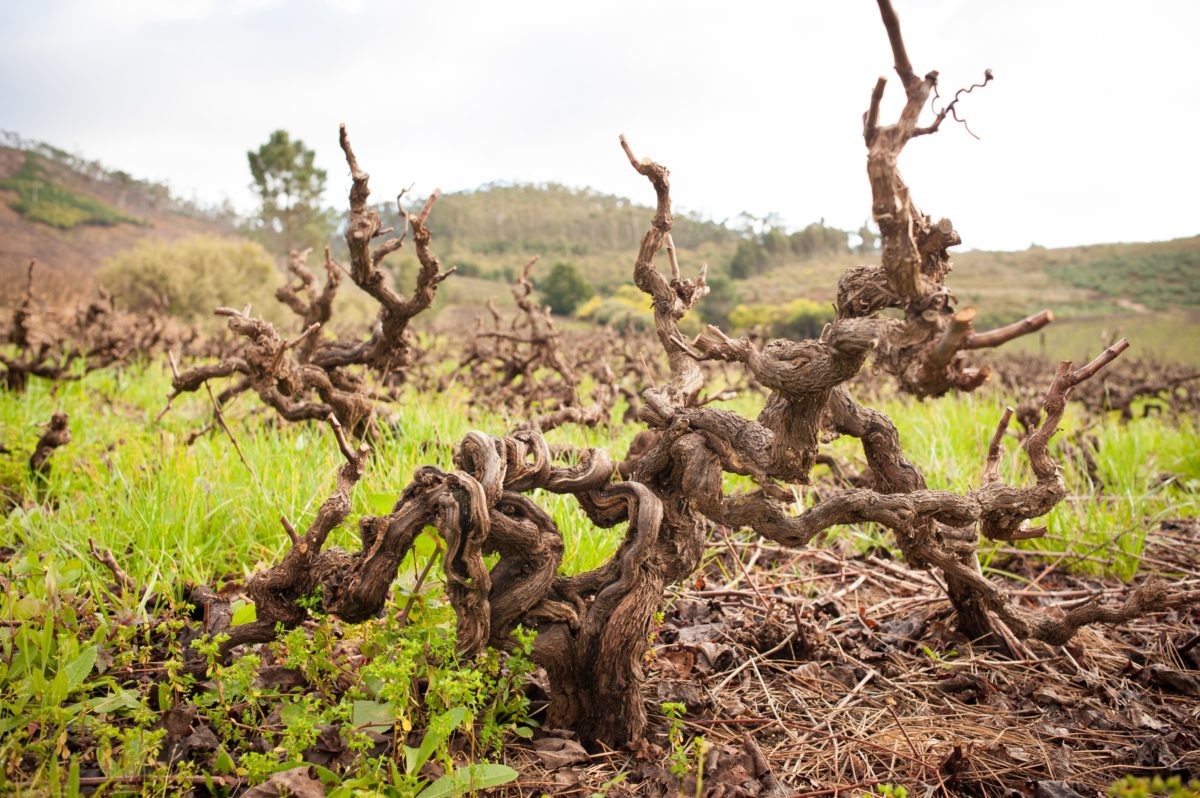 Research from University of Cape Town shows old vines add value