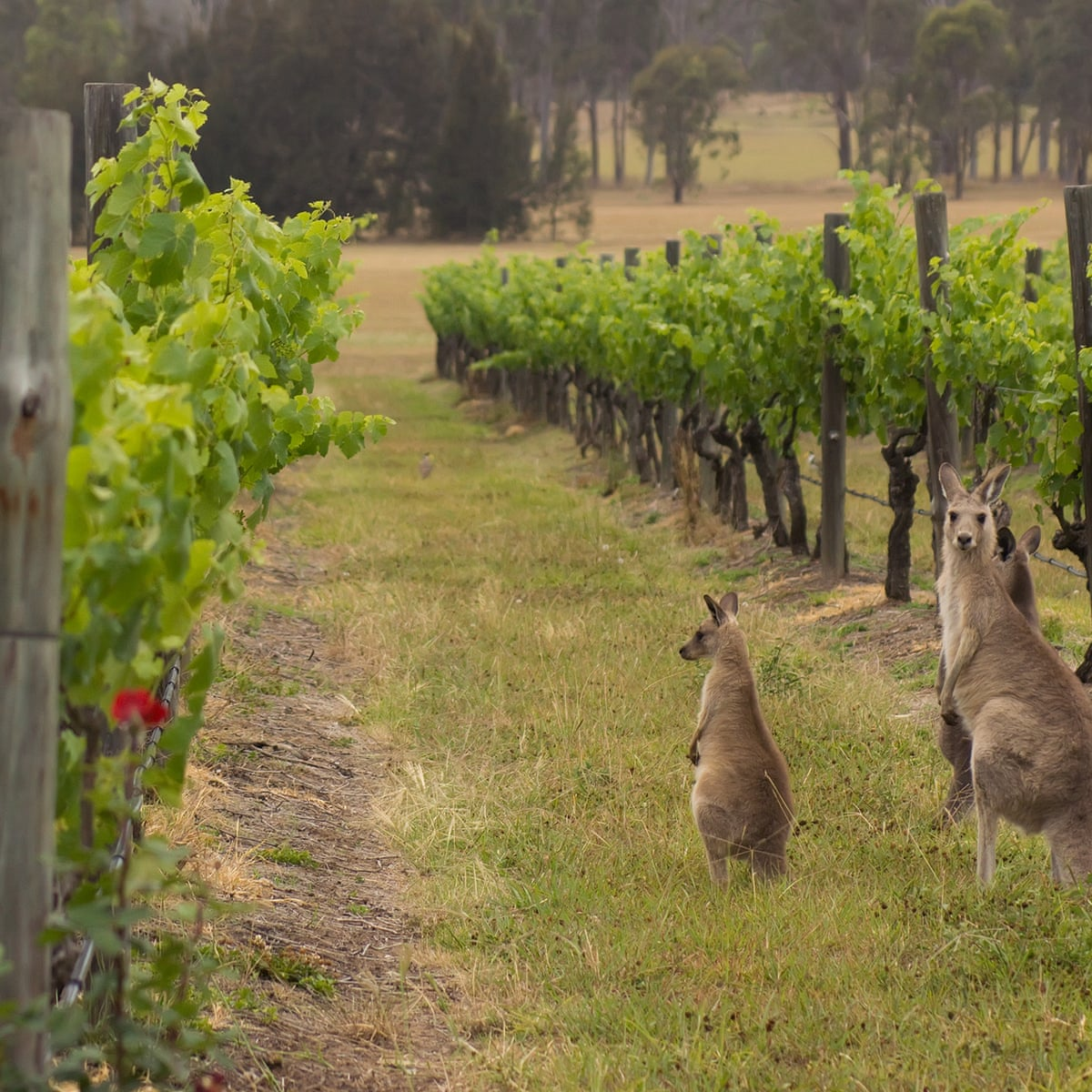 Wine Australia is launching a new global 24/7 virtual platform