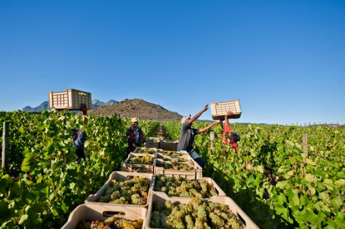 """South African Wine Harvest 2021 declared to be """"Exceptional Quality"""""""